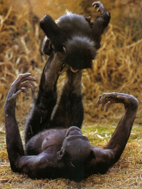 Bonobo monkeys playing airplane