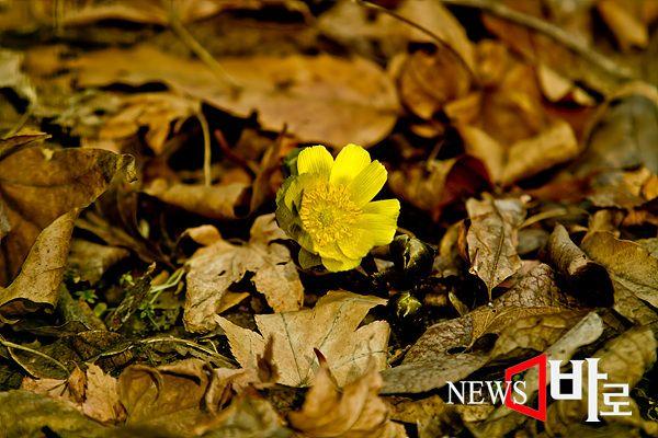 <<홍릉숲 - 복수초>> (홍릉숲에서 ©뉴스바로 장덕수 기자 2015.2.8)
