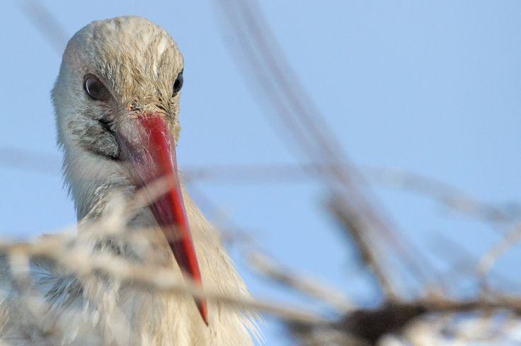 Stork - Cicogna - Camargue 2014 - #guidofrilli