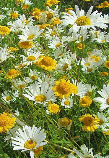 Росли ромашки на лугу Под солнцем расцветали. В росе ...