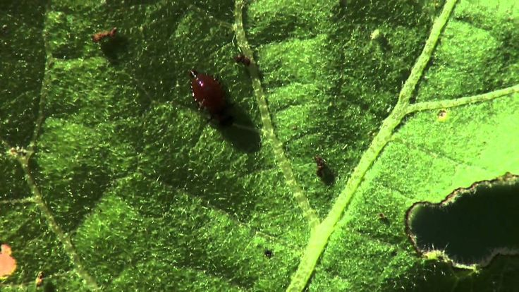 In This Segment Oklahoma Gardening Host Kim Toscano Talks About The Colorado Potato Beetle And