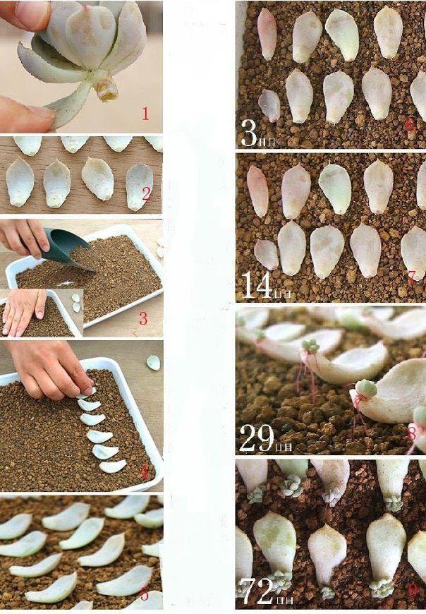 cómo propagar suculentas