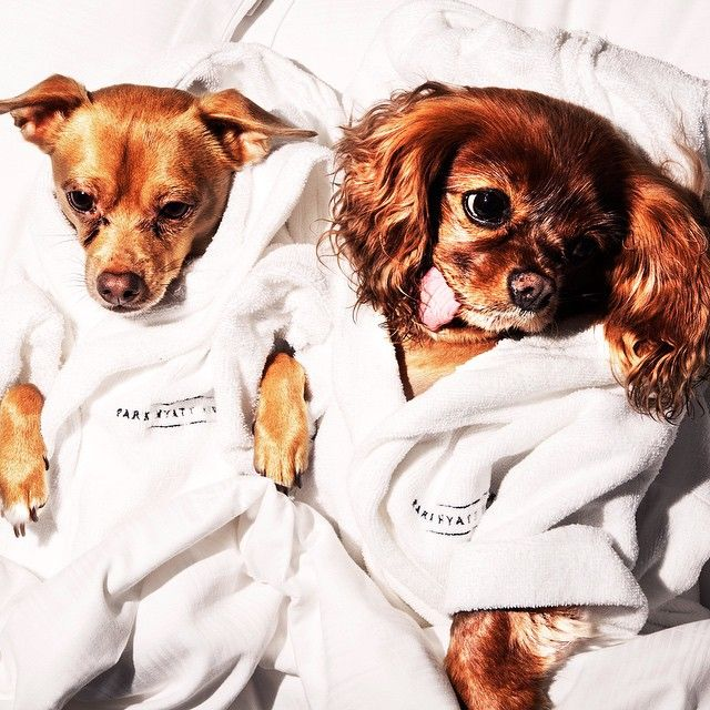 """Experience the """"VIP Very Important Pooch Package"""" if you check in with a dog at @ParkHyattNY! That means an in room doggy bed, bowls, treats; free dog walks and $100 from your check-in rate goes to Friends of Finn to help end puppy mills! Photo courtesy of @friendsoffinn on Instagram. #BarkHyatt #PetsofHyatt"""