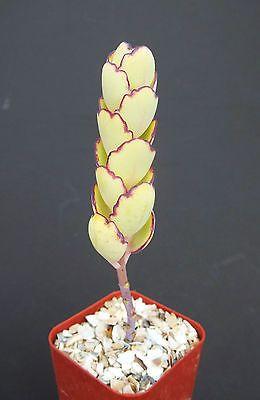 Kalanchoe-Fedtschenkoi-F-compacta-Exotico-Raro-planta-Suculenta-Cactus-2-Pot