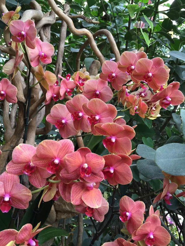Phalaenopsis \'Surf Song\', exposition Mille et une orchidées, grande ...