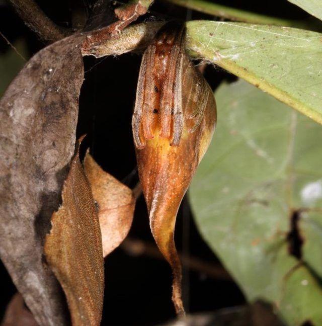 Ceci nest pas une feuille cest la première araignée découverte à se faire passer pour