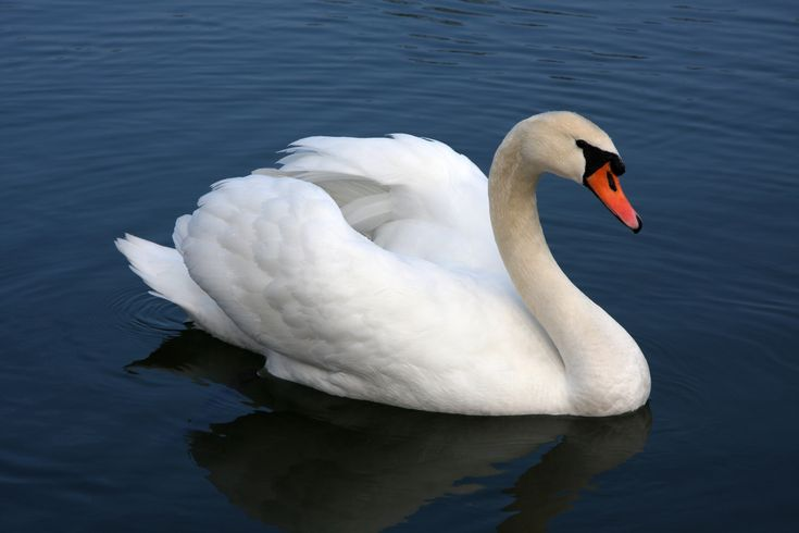 Mute swan - Wikipedia, the free encyclopedia