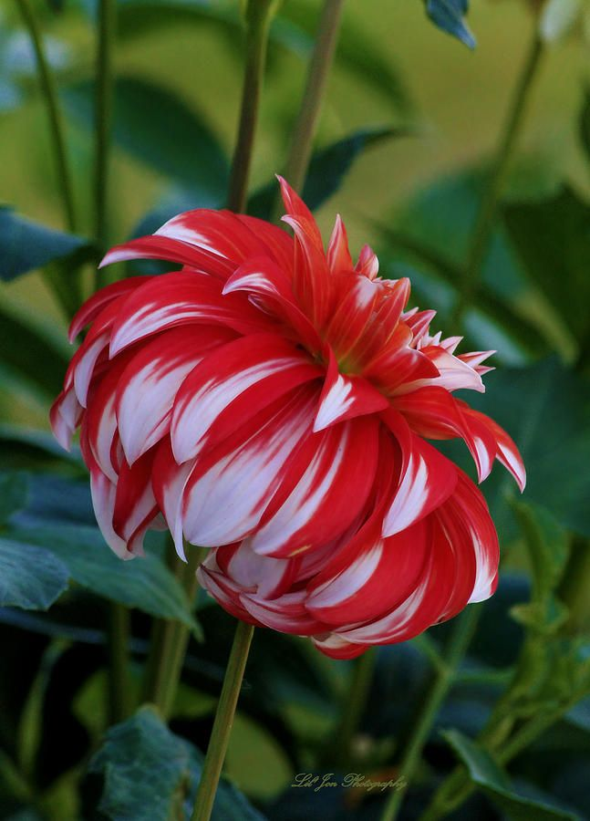 ~~Profile Of Santa Claus Dahlia by Jeanette C Landstrom~~