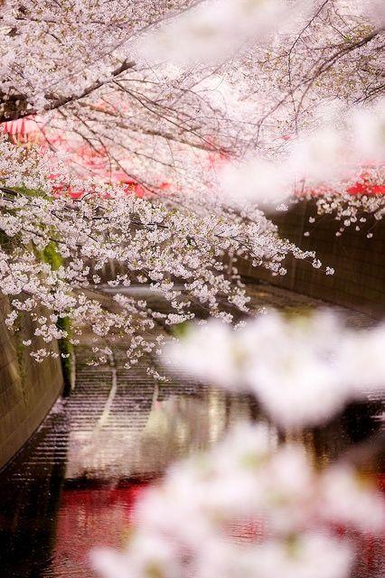 Cherry tree in full bloom, Tokyo, Japan