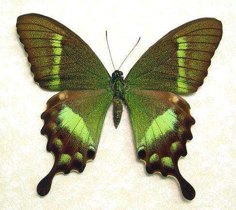 Mens Silk Pocket Square - Swallowtail Butterfly by VIDA VIDA Bl4smeXUu