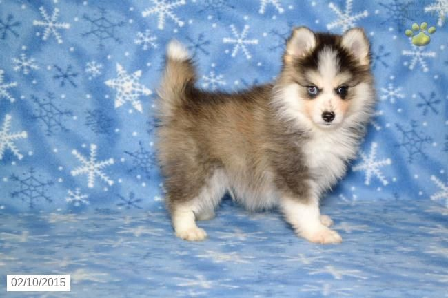 Pomsky Puppy for Sale in Ohio this puppy sold for 5,000.00
