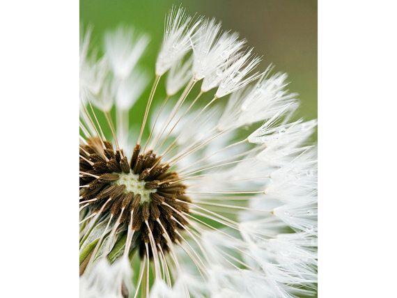 Flower Photography Dandelion Fine Art Print by LightOfTheWild