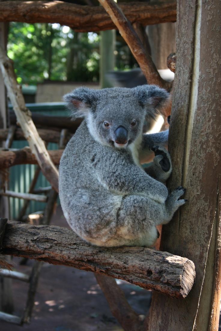 koala sanctuary, Brisbane #travel #brisband #australia @Connie Hamon Brzowski Hamon Brzowski Van Leuvan