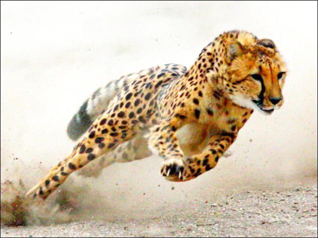 Résultats de recherche d'images pour « guepard »