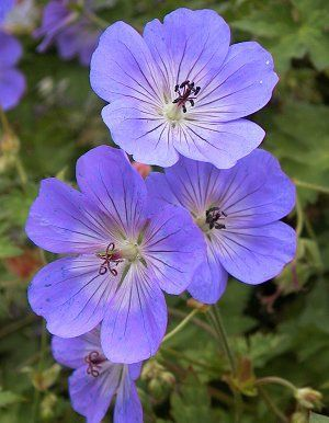 Rozanne Cranesbill Geranium. Zone 5, but beautiful, free blooming plant for front of border in part shade.