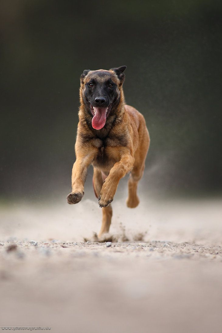 Photography by Wolfruede Belgian Malinois