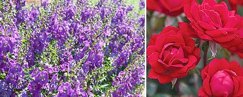 Roses In Garden: 17 Best Images About Angelonia On Pinterest