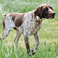 #dogalize Razas de Perros: Perdiguero frances caracteristicas y cuidados #dogs #cats #pets