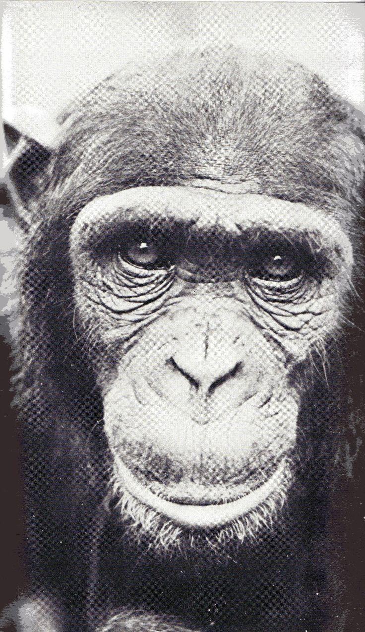 Chimpansee (Pan troglodytes