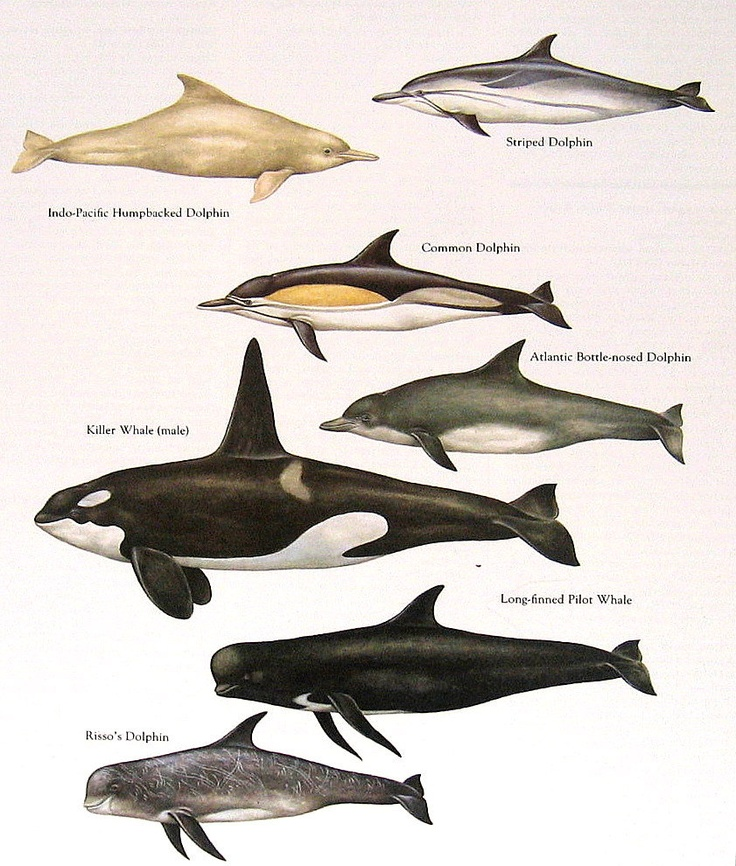 Humpbacked Dolphin, Killer Whale, Common Dolphin, etc. Vintage 1984 Fish Book Plate. $10.00, via Etsy.