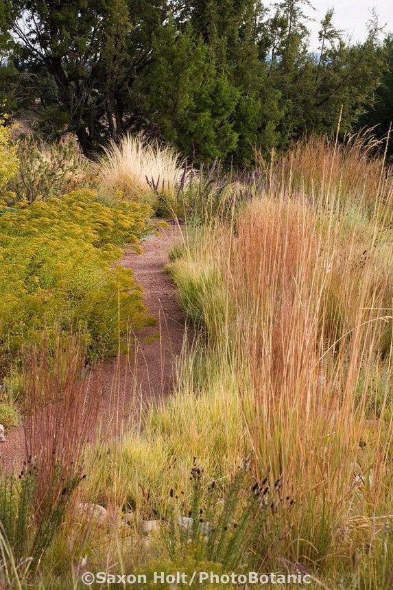 Path through drought tolerant meadow garden with Indian Grass (Sorghastrum nutans), Little Bluestem grass (Schizachyrium scoparium) and Dwarf Goldenrod (Solidago spathulata) and Juniper hedge (Juniperus monosperma)