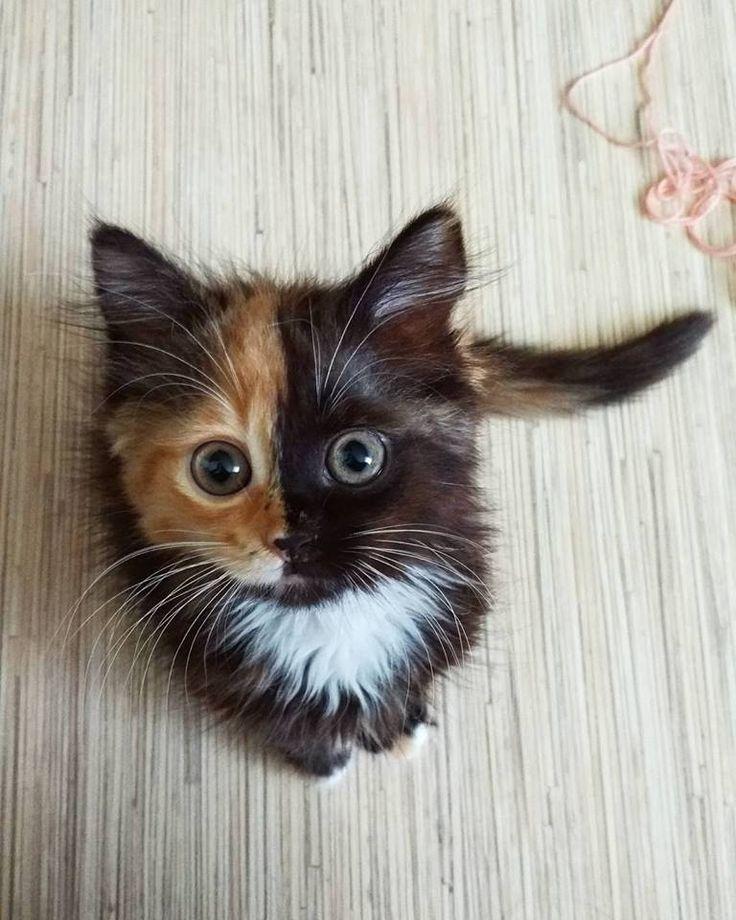 Kaliko-Katze :️Genetisch gesehen haben alle weiblichen Säugetiere zwei X-Chromosomen (männliche haben ein X- und ein Y-Chromosom). Kommt es zu weiblichem Nachwuchs, so wird je ein X-Chromosom von Mutter und eines vom Vater aktiviert. Trägt das eine X-Chromosom die Farbanweisung Orange und das andere nichtorange, so kann es zu einer Kaliko-Katze kommen.