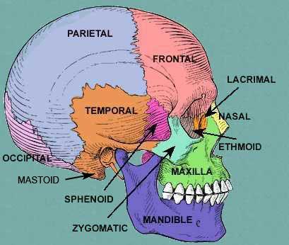 diagram of facial skeleton | Frontal Bone (1) Parietal bone (2) Occipital bone (1) Temporal bone (2 ...