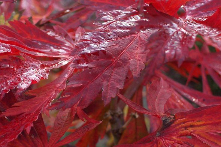 """Acer japonicum """"Aconitifolium"""" – Japanse esdoorns"""