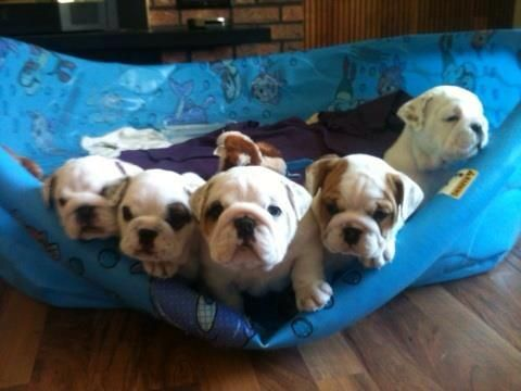 JAIL BREAK ♥ Who's the ring leader here? Posted on I Love English Bulldogs