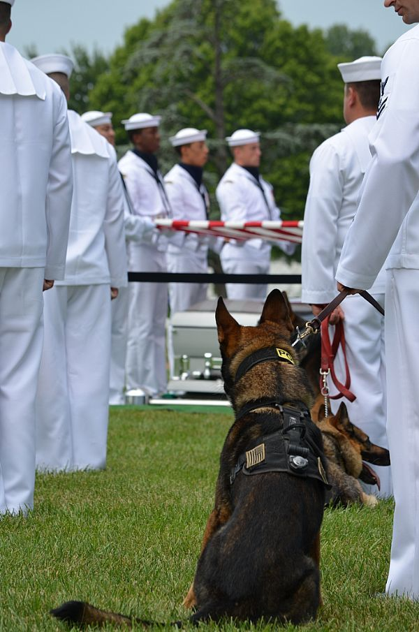 Dogs and handlers honor Greensboro native Sean Brazas during his funeral ceremony at Arlington National Cemetery. K9 handler MA2 Brazas was killed in action in Panjwa'l Afghanistan on 30 May.