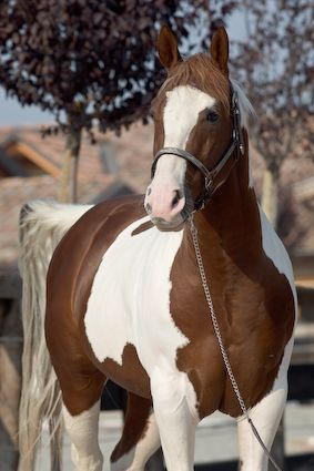 Detail stallion - SPECIAL CHOICE