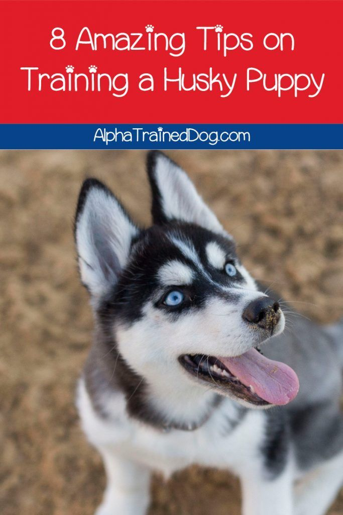8 Amazing Tips On Training A Husky Puppy In 2020 Husky Puppy