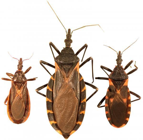 Como identificar o inseto barbeiro - Doença de Chagas. A doença de Chagas foi descoberta há mais de um século pelo infectologista e cientista brasileiro Carlos Chagas. Suas descobertas sobre a natureza desta patologia e sobre sua transmissão foram essenci...