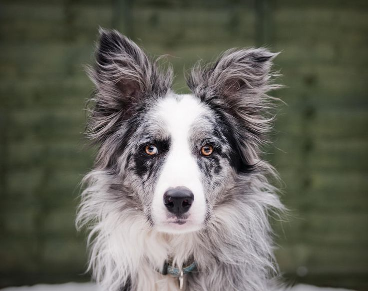 Blue merle border collie :-) my favorite! !! Can't wait to bring one home in june...