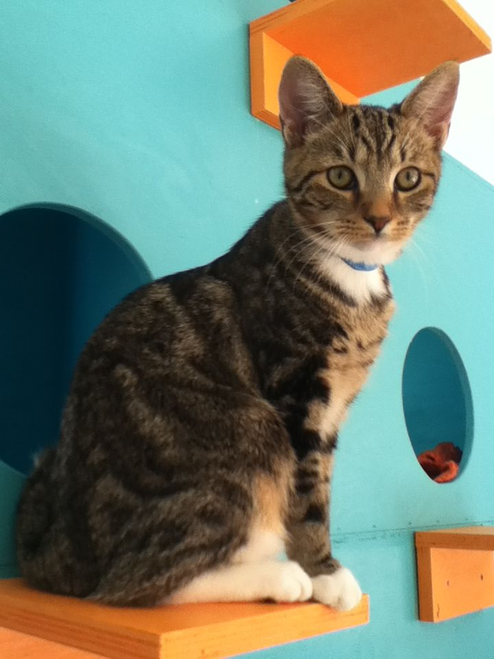 This is Karen. She is another one of our kittens and she loves to sit up high! Come in and visit this sweet girl! (I took this! Come and visit her at Cat's Cradle!)