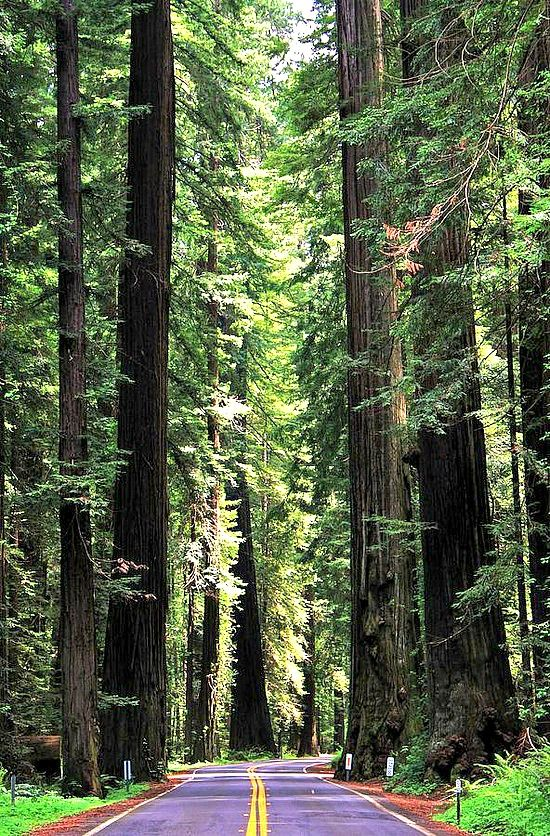Redwoods National Park, California - travel pinspiration on the blog!