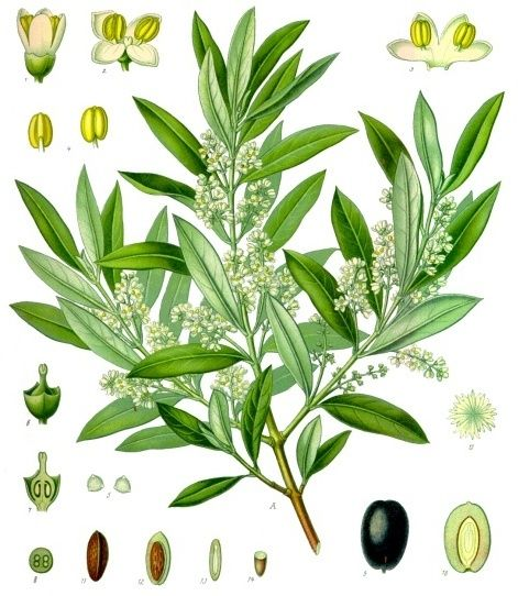 21 best images about trees and plants of italy on pinterest for Olive plant care