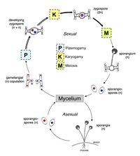Zygomycota_general life cycle