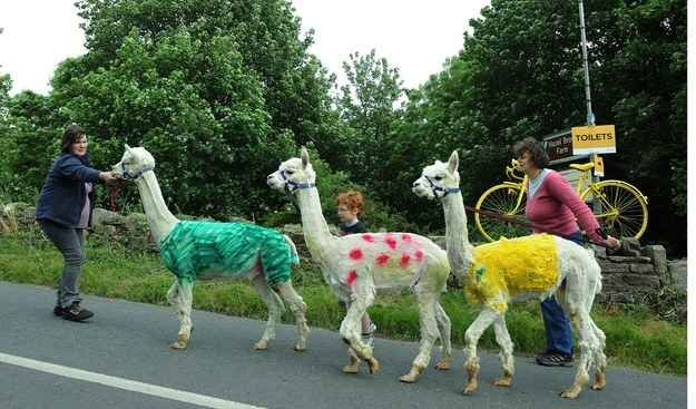 These llamas were spotted near Reeth, Yorkshire. | 31 Beautiful Images Of The Tour De France In Yorkshire