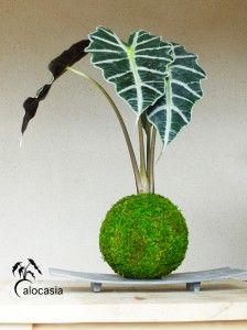 1000 id es sur le th me alocasia plant sur pinterest for Terrasse exotique et depaysante