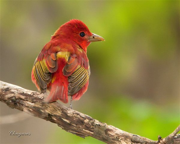 Summer Tanager - U.S. and Canada - BirdWatching Daily - BirdWatching Community
