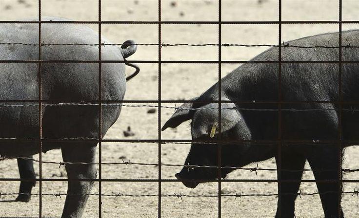 La Guardia Civil de El Castillo de las Guardas (Sevilla) ha localizado a tres vecinos de El Viso del Alcor a los que acusa de robar ganado porcino de una explotación ganadera y de matar a los animales a golpes para despiezarlos después.  Los tres hombres, dos de nacionalidad rumana y un español, están acusados de al menos seis delitos de hurto y maltrato animal y fueron identificados después de que el propietario de una explotación ganadera avisara de la presencia de una furgoneta sospechosa…