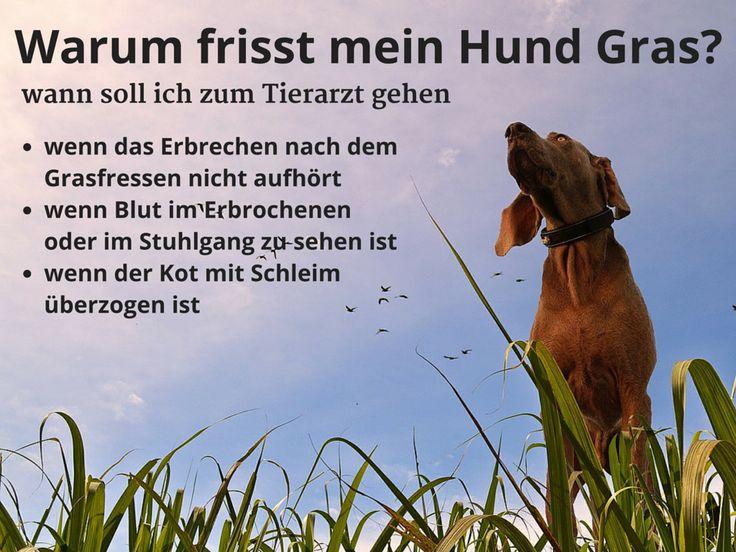 Mein Hund hat #Gras gefressen, wann soll ich zum #Tierarzt gehen?