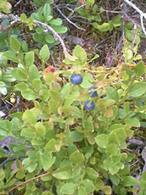 Mustikka Marja tulwva kesään lopussa ja syksyllä alku näitä voimme kerätään talven varasto
