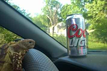 """Don't Go On Holiday And Ask Your Boyfriend To Keep Your Pet Tortoise """"Out Of Trouble""""  A slower version of flat Stanley or elf on the shelf."""