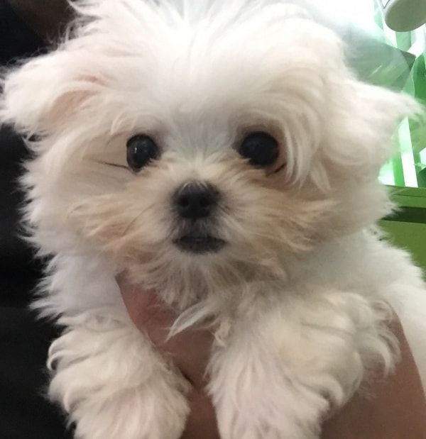 Maltese Toby Dog Of Pet Parent Dalton Pawshake Dogs Pet Parent Pets