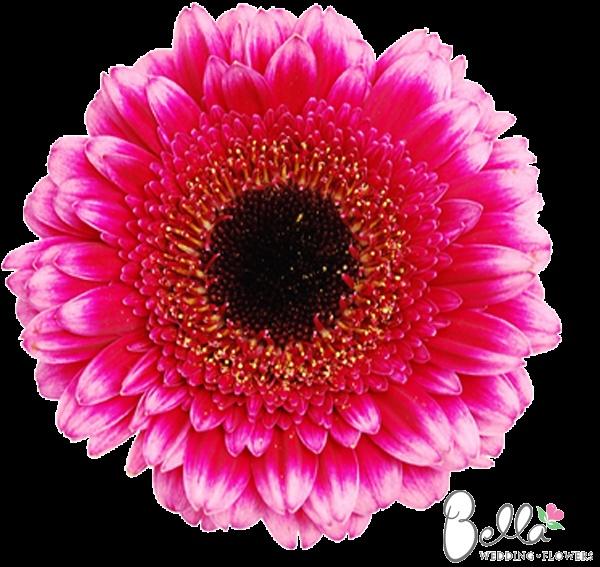 Hot Pink Gerbera Daisy White Wedding Invitation 5 X 7: 10 Best Mini Gerbera Daisies Images On Pinterest