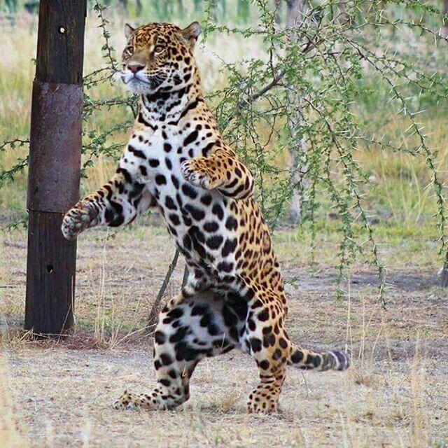 Animal jaguar leopard 122 pinterest voltagebd Gallery