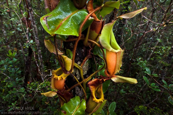 Veitch 39 s pitcher plant nepenthes veitchii growing up a tree trunk maliau basin sabah borneo - Flowers that grow on tree trunks ...