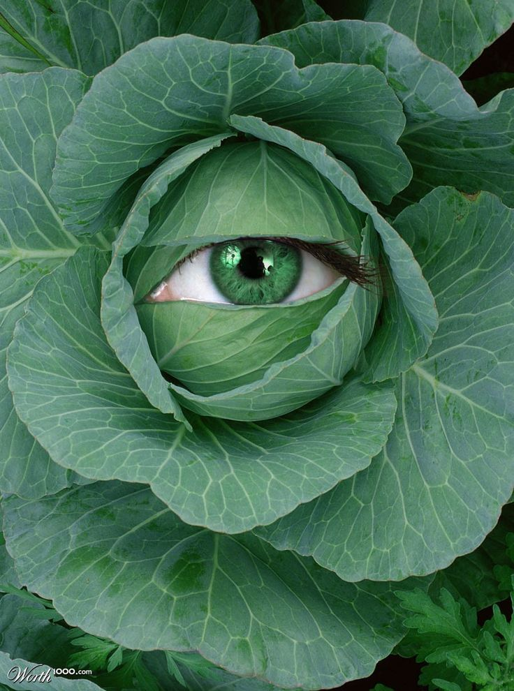 cabbage eye